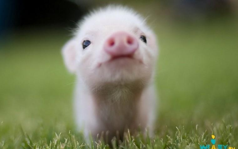 고기가 아닌 돼지, 한번쯤은 생각해 보시길…