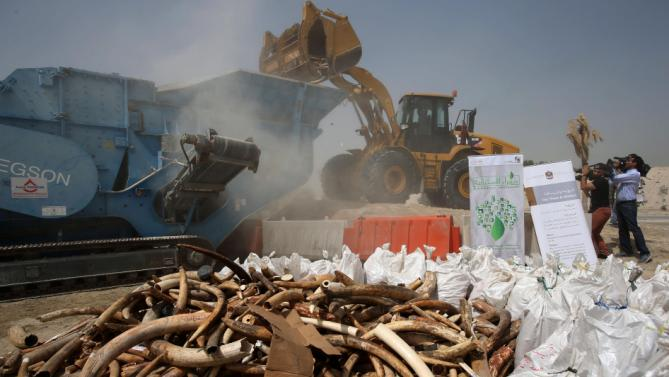 United Arab Emirates authorities crush more than 10 metric tons, or about 11 U.S. tons of elephant tusks and ivory carvings confiscated in the Gulf nation to send a message against poaching, in Dubai, Wednesday, April 29, 2015. Dubai is not a major destination for smuggled ivory, but it is a key crossroads for the trade because of extensive air and sea links to Africa, Asia, Europe and the Mideast. (AP Photo/Kamran Jebreili)