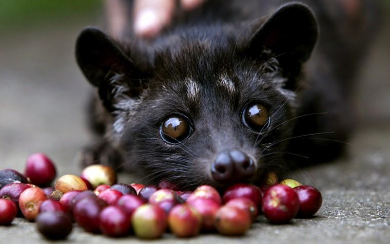 당신의 손에 들고 있는 것은 커피입니까? 사향고양이의 피와 눈물입니까?