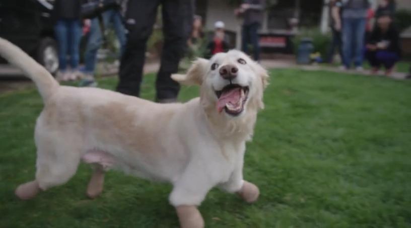 네 다리를 잃었지만, 행복한 강아지 '치치'