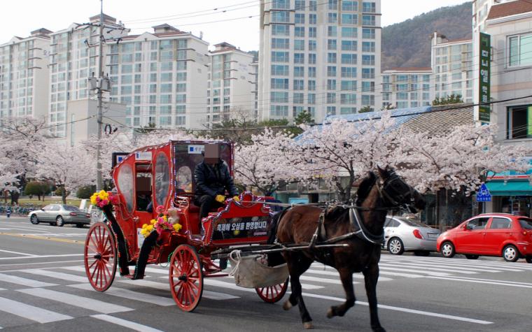 진해시, '군항제' 꽃마차 운행 전면 금지 결정