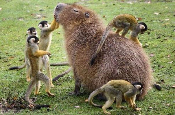 거대 설치류 카피바라의 놀라운 친화력!