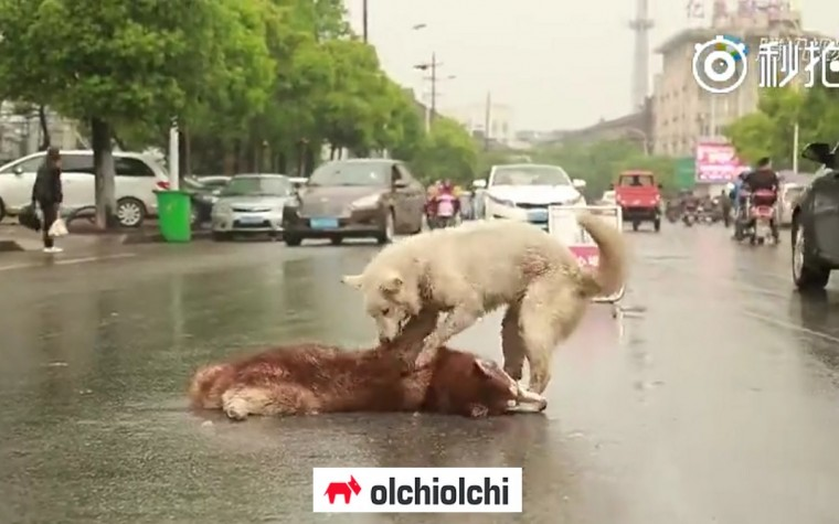 """(영상) """"친구야~ 죽지마~ 일어나~"""" … 슬퍼하는 강아지"""