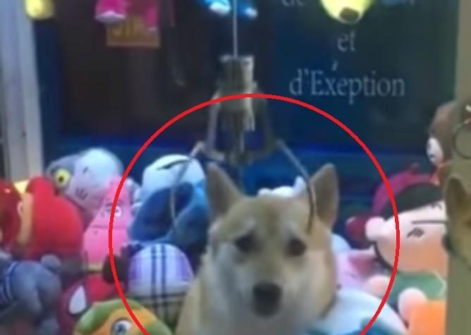 (영상) 살아있는 강아지를 인형뽑기 기계에!…네티즌 공분