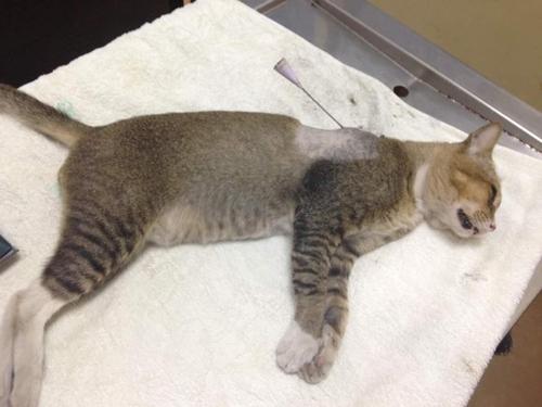 사진= 바람총 화살에 맞아 치료를 기다리는 고양이(코타키나발루 동물학대방지협회(SPCAkk) 페이스북 캡쳐)
