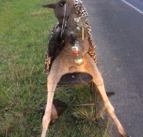 죽은 캥거루 사체 의자에 묶어 도로에 전시…끔찍한 동물학대 행위 비판