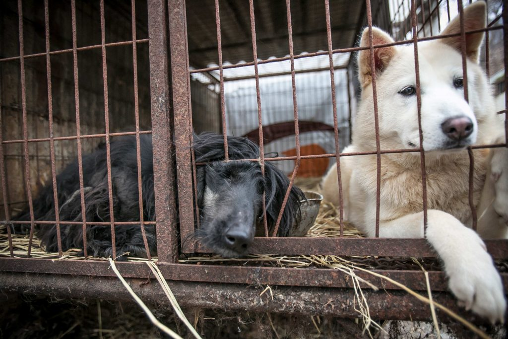 Sheri, left, an Afghan Hound, and her cage mate are shown locked in a cage at a dog meat farm in Namyangju, South Korea, on Tuesday, November 28, 2017. The operation is part of HSIs efforts to fight the dog meat trade throughout Asia. In South Korea, the campaign includes working to raise awareness among Koreans about the plight of meat dogs being no different from the animals more and more of them are keeping as pets.