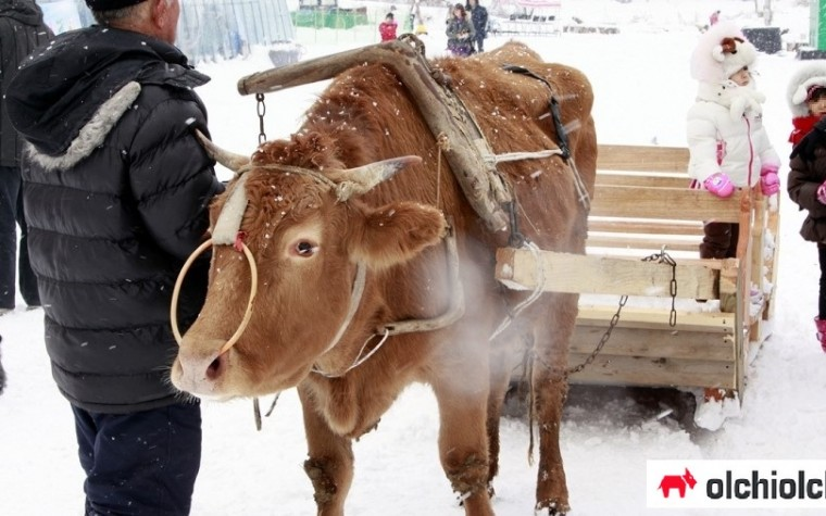 (단독) 신나는 '소 썰매' 체험?…동물학대 논란
