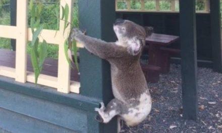 호주서 기둥에 못 박혀 죽은 코알라…네티즌 분노