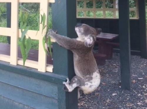 사진=코알라 레스큐 퀸즐랜드(Koala Rescue Queensland) 페이스북
