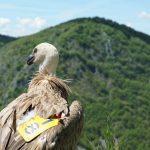 터키항공 카고, 멸종위기 그리폰 독수리 보금자리로 돌려보내